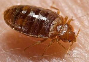 photo bed bug adult
