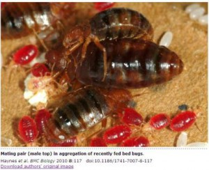Bed Bugs Violent Insemination